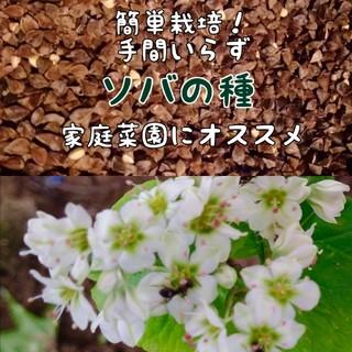 【お世話いらず・家庭菜園に白いお花を】令和元年収穫ソバの種 たっぷり10g(野菜)