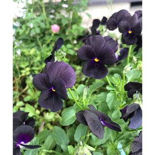 専用  珍しい黒のビオラ 種10粒✖️2 寄せ植え ギャザリングにも(その他)