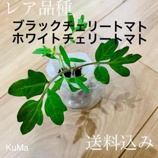 専用出品/トマト苗(ブラックチェリートマトorホワイトチェリートマト)(野菜)