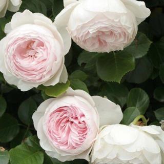 バラ苗 -フルーツ強香 ピュアホワイト中心がライラックピンク 四季咲き- 薔薇(その他)