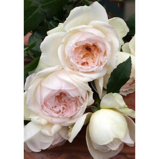 バラ苗 人気品種 フルーツ強香 純白~淡いピンク 四季咲き 薔薇(その他)