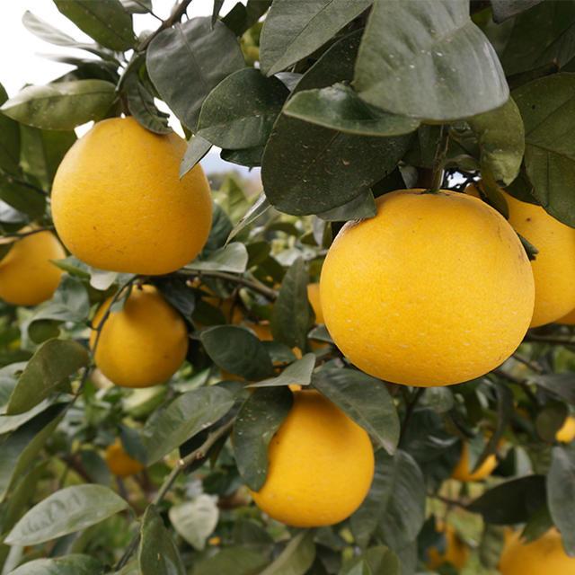 晩柑 家庭用 10kg  食品/飲料/酒の食品(フルーツ)の商品写真