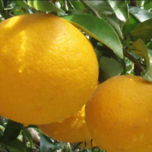 夏みかん 無農薬 食品/飲料/酒の食品(フルーツ)の商品写真
