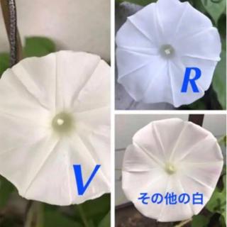 日本朝顔  白シリーズ  ミックス 30粒  楚々とした白の違いを楽しむ(その他)