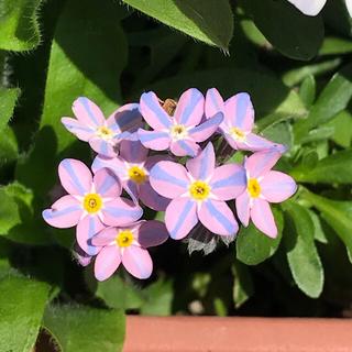 珍しい色のわすれな草の種 No1  10粒 寄せ植え ギャザリングにも(その他)