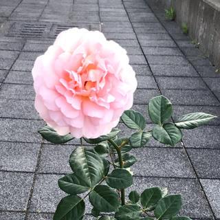 エブリン  ER evelyn バラ 薔薇 苗 接木苗 花なし(その他)
