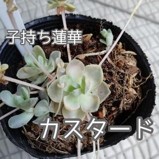 多肉植物15 子持ち蓮華 カスタード 抜き苗(その他)