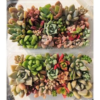 多肉植物 カット苗 2個セット(その他)
