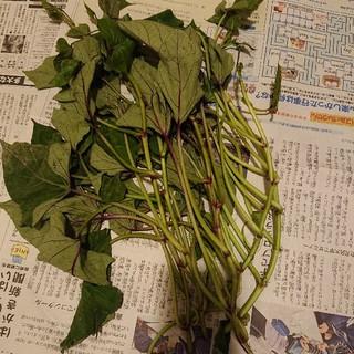 サツマイモ 苗 鳴門金時、コガネセンガン、紅はるか 合計150本(野菜)