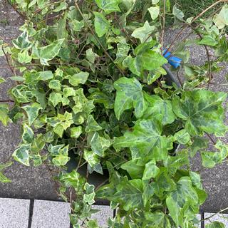 アイビー 観葉植物 切り苗 約70gのタップリ量(プランター)