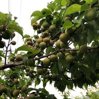甲州小梅 5kg 無農薬、無化学肥料(野菜)