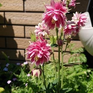 オダマキ種 ペチコート 八重咲き 濃いめのピンク色増量30粒 おまけあり(プランター)