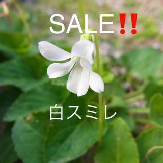★白スミレの苗10本★SALE‼️(その他)