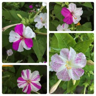 おしろい花の苗(その他)