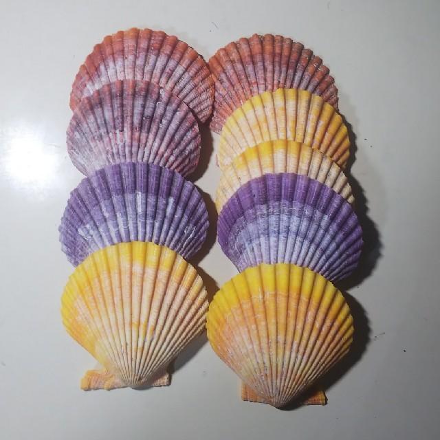 貝 ヒオウギ