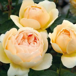 j 挿し木 バラ 苗 もっとも優雅な姿の薔薇のひとつ(その他)