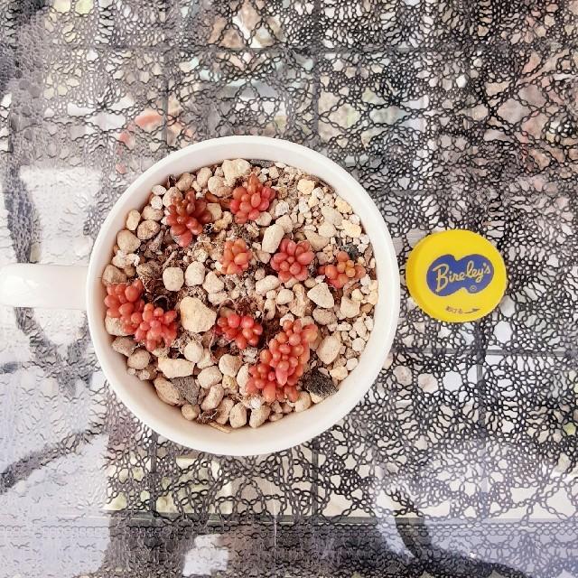 多肉植物レッドベリー☆しろくま様 確認用 ハンドメイドのフラワー/ガーデン(プランター)の商品写真