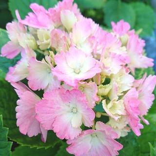 縁がギザギザピンクの紫陽花(その他)