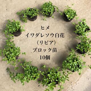 ヒメイワダレソウ 白花 10個 ブロック苗9㎝ポット(7.5㎝ポット17個相当(その他)
