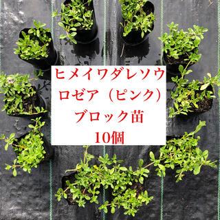 ★ヒメイワダレソウ ピンク10個 9㎝ポットブロック苗(6㎝ポット苗22個相当(その他)