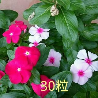 日々草MIX 30粒