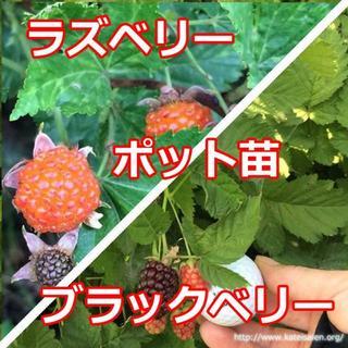 ■ラズベリー苗ブラックベリー苗セット ポット苗☆送料無料♪(その他)