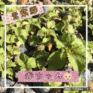 青紫蘇  シソ 紫蘇  ちりめん  赤ちゃん  抜き苗  10苗  大葉(野菜)