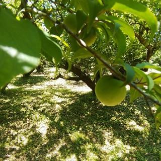 鹿児島県産 自然農法栽培 南高青梅 Lサイズ以上 5kg(フルーツ)