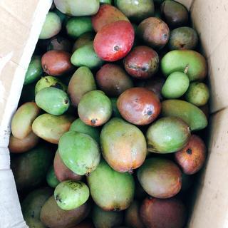 摘果マンゴー約14kg(半熟)※梱包含む※クール便発送(フルーツ)