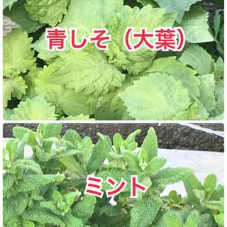 青しそ(大葉)苗5本&ミント苗5本のコラボ(野菜)