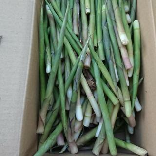 根曲がり竹   サイズ太さ小さめ細め  1g1円以下(野菜)