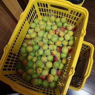 ☆お買い得☆青梅S~Mサイズ【無農薬 自然栽培】朝摘み当日出荷(フルーツ)