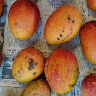 1.マンゴー 3kg mango 家庭用 傷黒点あり(フルーツ)