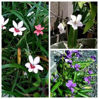 スミレの種、白とブルー、姫ヒオウギ種の3種類(その他)