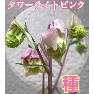 オダマキ 種 50粒以上(その他)