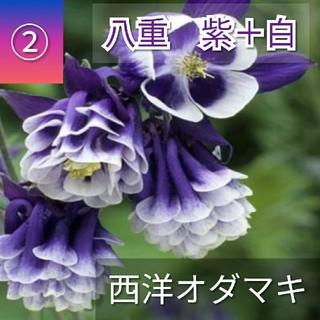 【西洋オダマキ②】八重紫白 種子20粒 丈夫で育てやすい!(その他)