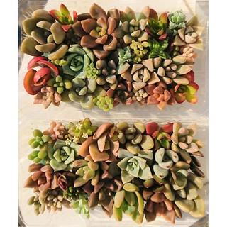 多肉植物 カット苗  パック 2個セット 5(その他)