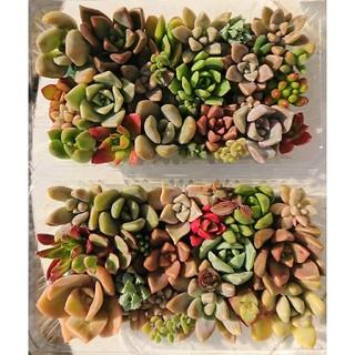 多肉植物 カット苗 パック 2個セット(その他)