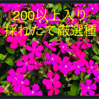シレネピンクパンサー種(その他)