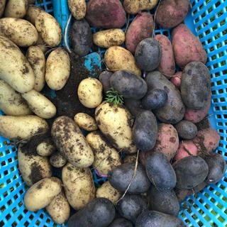 山梨県産無農薬野菜 カラフル新じゃが三種類 宅急便コンパクト約1キロ 送料込(野菜)