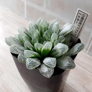 多肉植物 ハオルチア 白琥珀斑ピリフェラ ミルキー(その他)