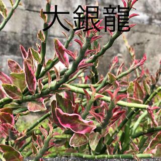 多肉 ペディランサス大銀龍 カット苗5本(その他)