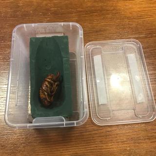 届いて5分で使える大型外国産カブトムシ用の人工蛹室と専用ケースセット!!(虫類)