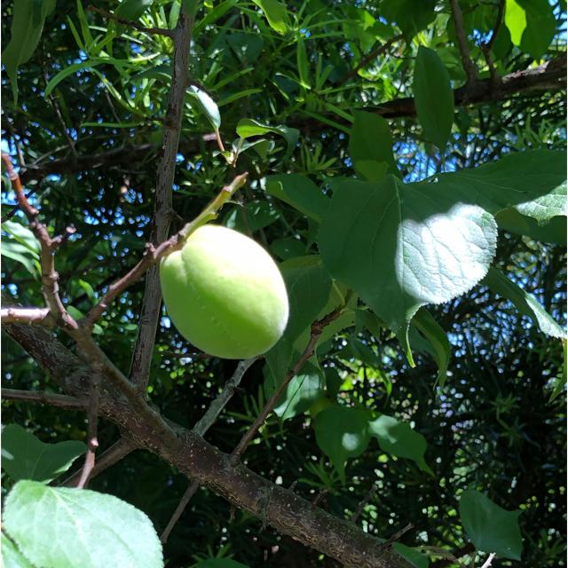 青梅 種類 ミックス 無農薬 二キロ 食品/飲料/酒の食品(フルーツ)の商品写真