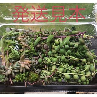 多肉植物 セダムmix カット苗(その他)