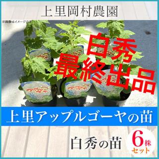 53161 【n6H6】送料込!寅さんのアップルゴーヤ白秀ワケあり苗6株(野菜)