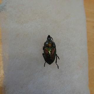 ニジイロクワガタ標本(虫類)