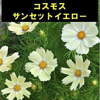 レア!【コスモス⑫】サンセットイエロー 種子20粒(その他)
