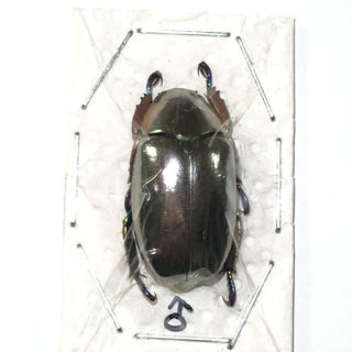 クルサルギレアプラチナコガネ!標本!その1(虫類)