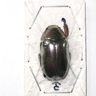 クルサルギレアプラチナコガネ!標本!その3(虫類)